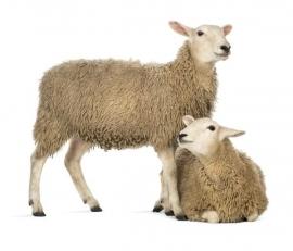 Noordwand Farm Live Fotobehang. 3750052  Sheep/Schapen Behang