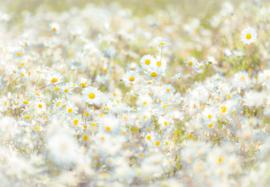 Komar Stories 8-994 Daisies/Natuurlijk/Bloemen/Planten Fotobehang - Noordwand