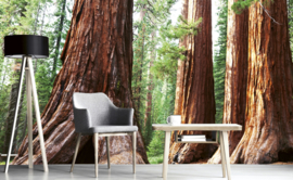 Dimex Fotobehang Sequoia MS-5-0102 Boom/Natuur/Bos