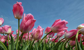 We Live by Light/Holland Tulpen rose 8184 - Fotobehang - Noordwand