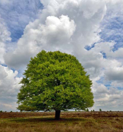 We Live by Light/Holland Beukenboom op de heide 9621 Fotobehang - Noordwand
