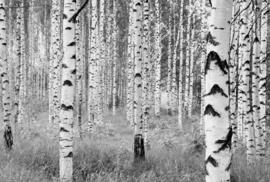 Komar Home Imagine Edition 4 Fotobehang XXL4-023 Woods/Bomen/Berken Bos/Natuurlijk