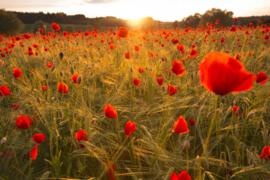 AS Creation Wallpaper XXL3 Fotobehang 470612XL Klaprozen/Flowers in Field