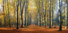 We live by light/Holland  Beukenlaantje herfst 2 2201 - Fotobehang  - Noordwand