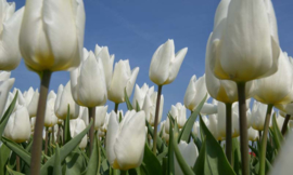 We Live by Light/Holland Tulpen Wit 8179 - Fotobehang - Noordwand