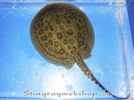 Potamotrygon sp. pearl male