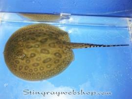 Potamotrygon sp. pearl female