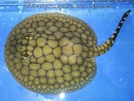 Potamotrygon itaituba (P14) female