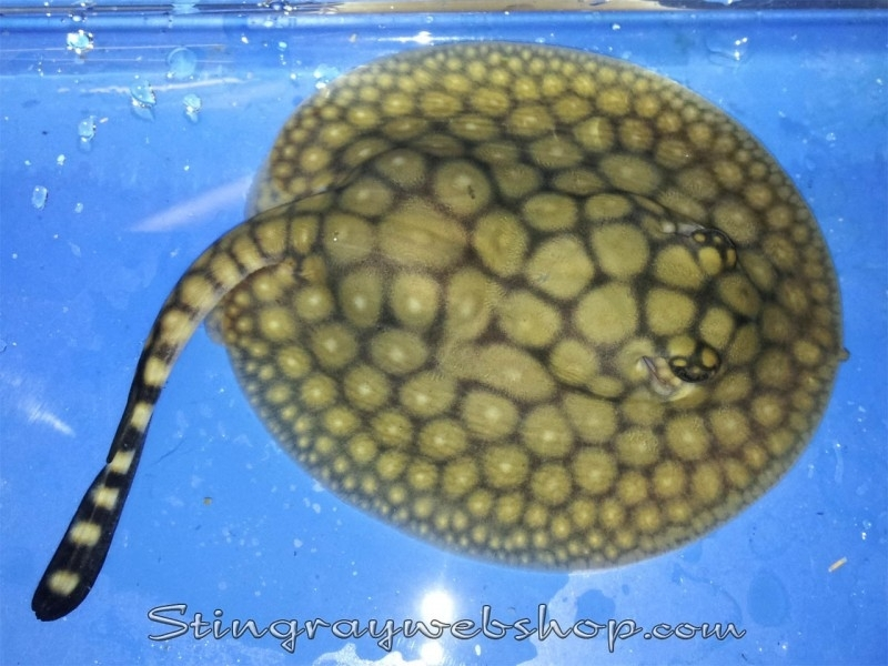 Potamotrygon itaituba (P14) male