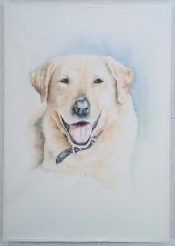 Labrador, aquarelverf
