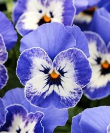 Mok groot (Farmer) Bunzlau Castle Blue Violets