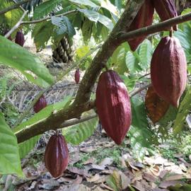 Adopteer een Cacaoboom!!