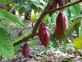 Goede Doel: La Galigo Foundation, ADOPT A TREE