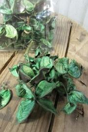 Cotton pods groen
