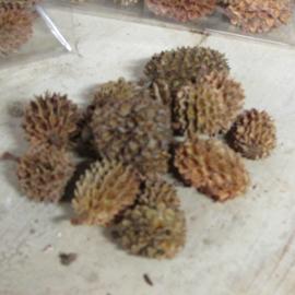 Casuarina naturel 55 gram
