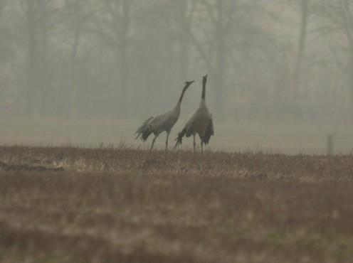 baltsendekraanvogels(2).jpg