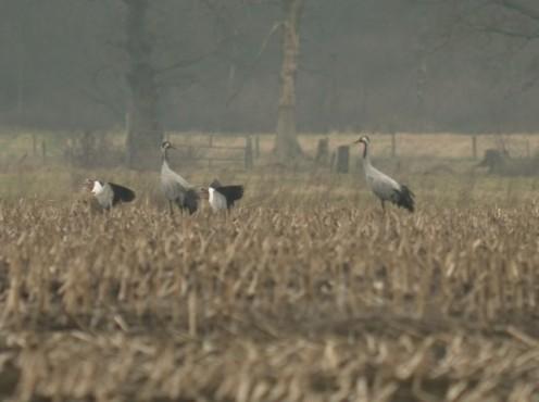 baltsendekraanvogels(3).jpg