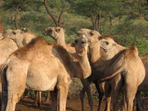 kameel2-helaas-geen-fabeltjenr.9.jpg