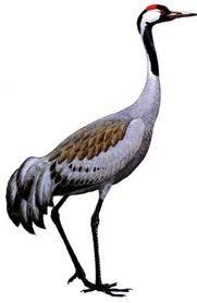 kraanvogel-solitair.jpg