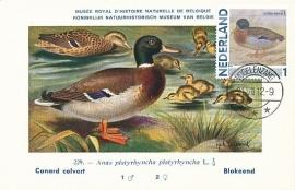 B024 NEDERLAND Wilde eend