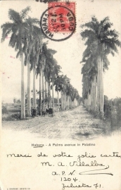 © 1902 - CUBA - Palm trees