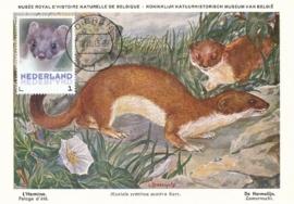 þþþ - Zoogdieren Hermelijn