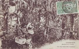 © 1909 GUADELOUPE Vanilla Orchid plant