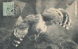 © 1913 - NEW CALEDONIA - Kagu bird