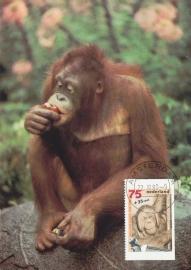 ® 1988 CATA 1402c Orang-oetan