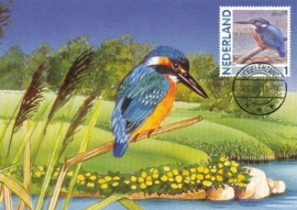 B161 NEDERLAND IJsvogel