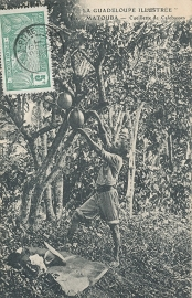 © 1910 GUADELOUPE Calabash tree