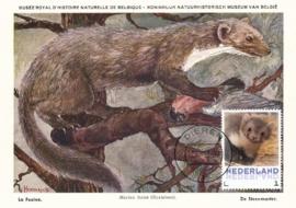 þþþ - Zoogdieren Steenmarter
