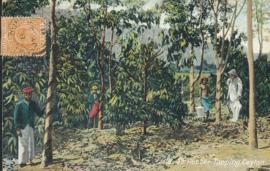 © 1911 - CEYLON Trees - Leaves