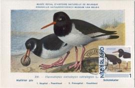 B008 NEDERLAND Scholekster