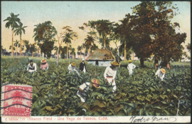 © 1911 - CUBA - Palm trees