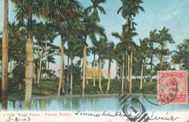© 1907 - CUBA - Palm trees
