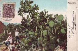 © 1906 - MEXICO Opuntia cactus