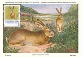 þþþ - Zoogdieren Haas