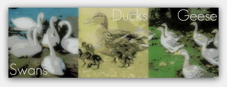 ducksbanner.jpg