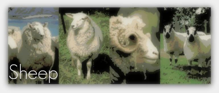 sheepbanner.jpg