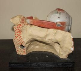 Antiek anatomisch model oog (van gips)