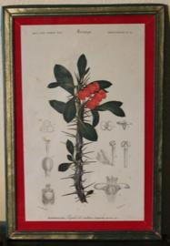 Botanische ingelijste planten prenten