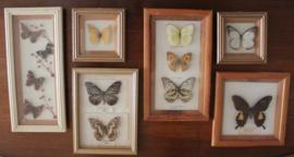 Diverse lijstjes met opgezette vlinder