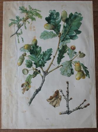 Botanische tekening van de Eik
