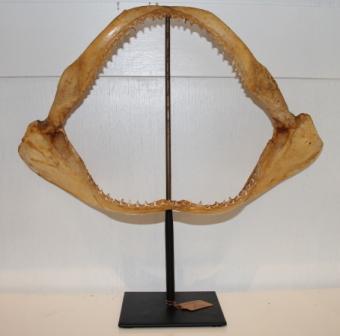 Grote Haaien kaak