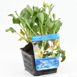 Anemopsis - Vijverplant