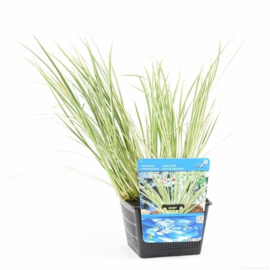 Acorus - Vijverplant