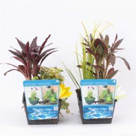 Vijverplanten Mix mand met 3 planten