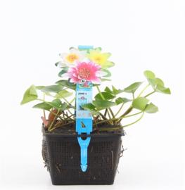 Waterlelie Trio - vijverplant