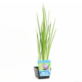 Blauwe Iris - vijverplant
